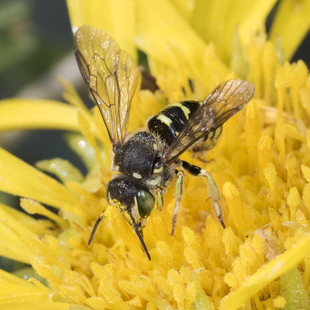 mason bee - Dianthidium sp.