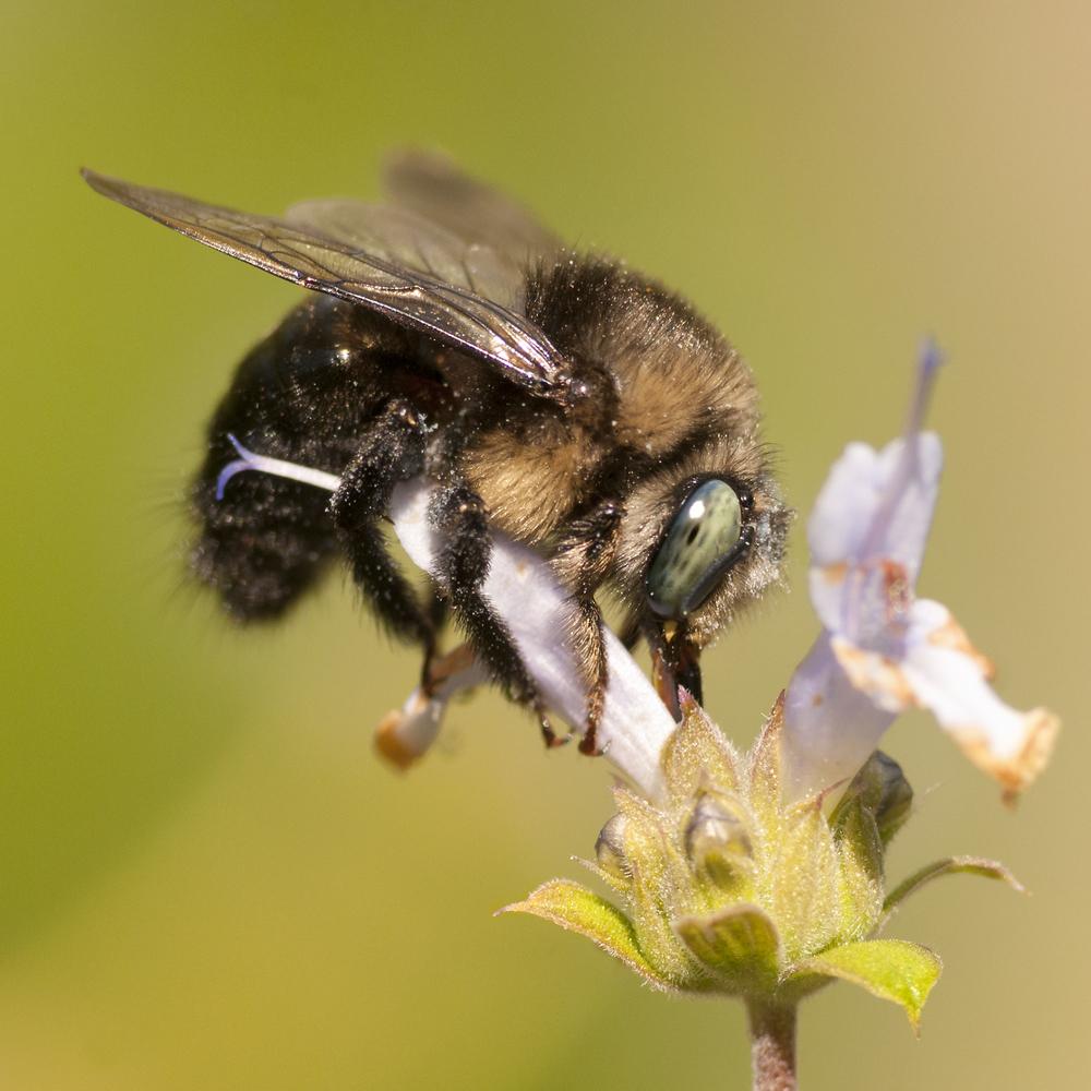 Horsefly-like Carpenter Bee - Xylocopa tabaniformis orpifex