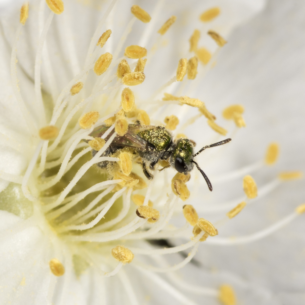 Sweat Bee - Halictus tripartitus