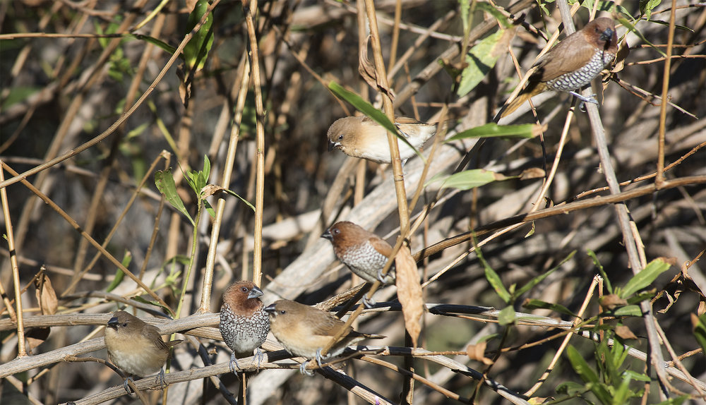 The three birds in this photo with plain, unmarked breasts are juveniles, proving that local munias successfully bred this season.