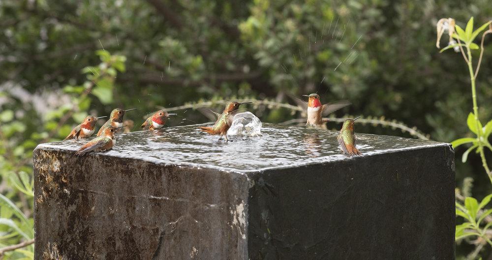 Allen's hummingbirds.