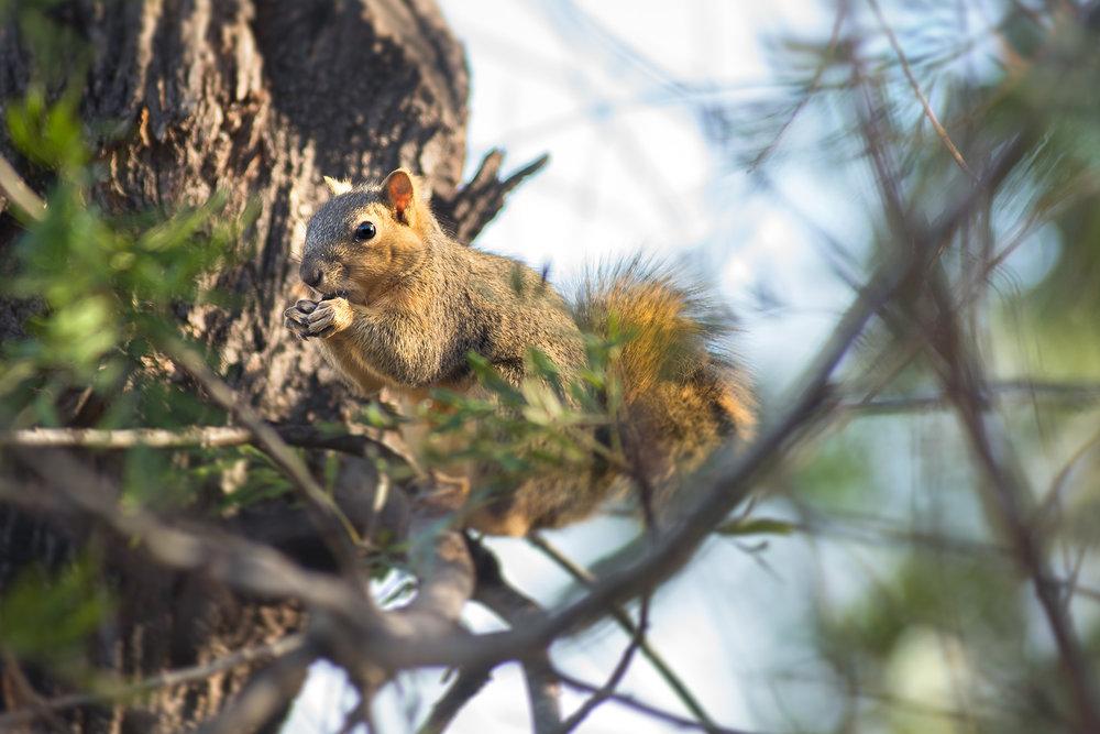 Adult Eastern fox squirrel.