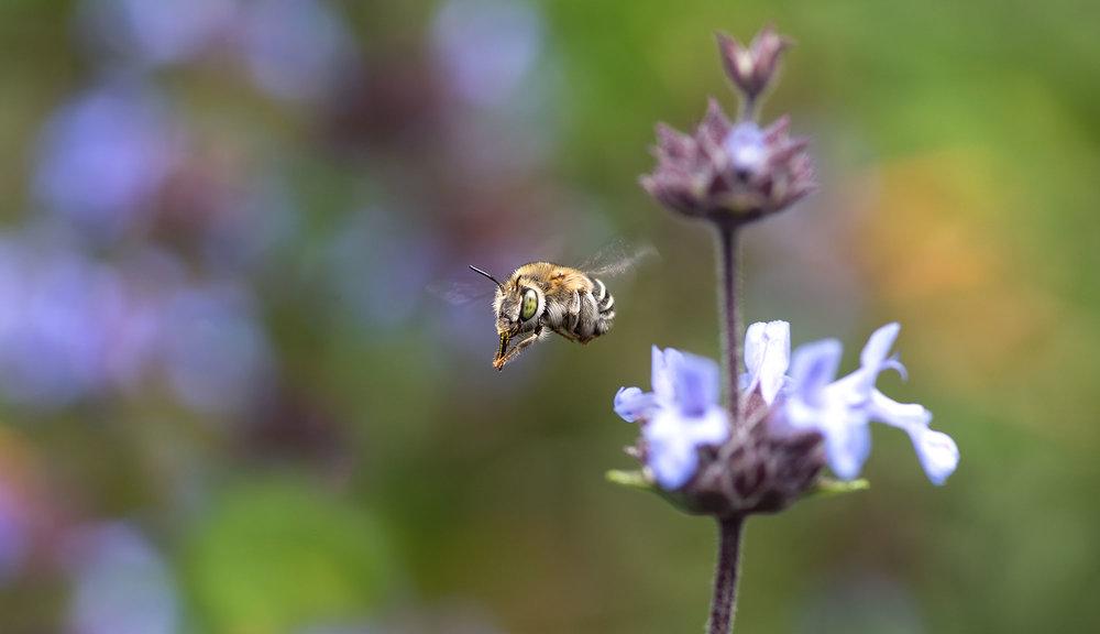 Anthophorine Bee -Anthophora curta