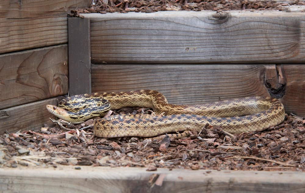 San Diego Gopher Snake - Pituophis catenifer annectens