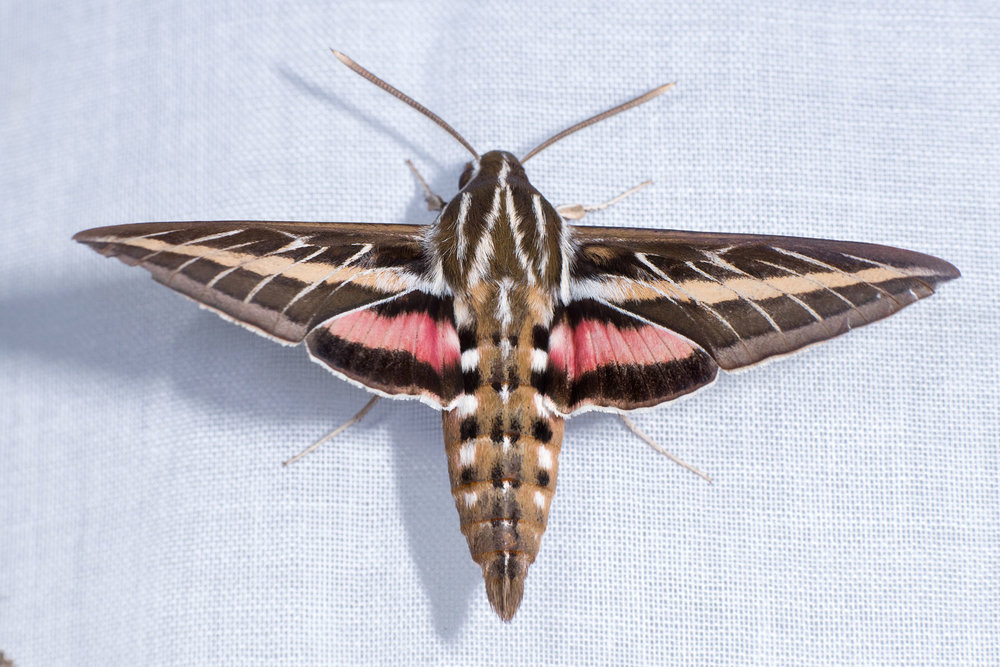 White-lined Sphinx Moth Adult