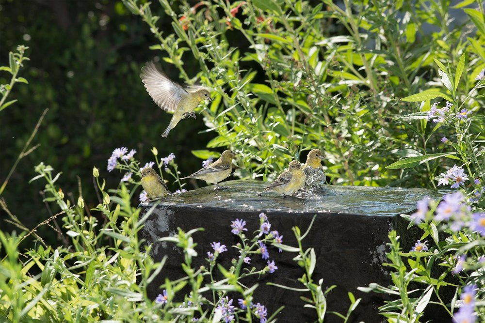 Lesser Goldfinches - Spinus psaltria
