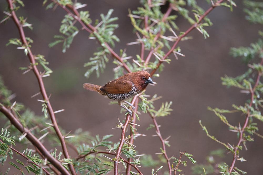 Scaly-breasted Munia -Lonchura punctulata