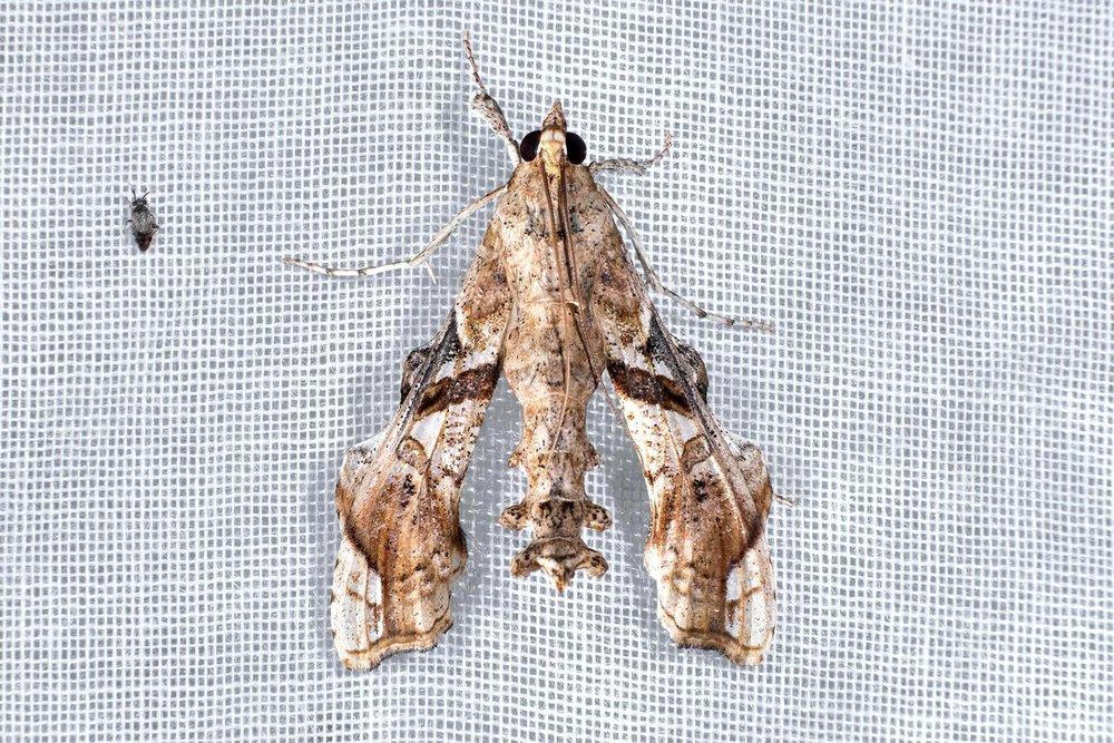 Erythrina borer - Terastia meticulosalis