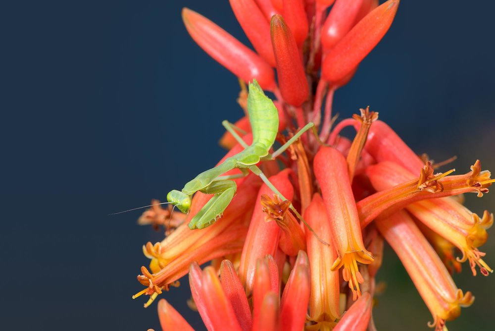 Bordered Mantis - Stagmomantis limbata  ♀