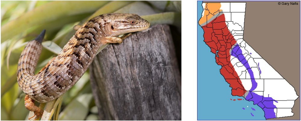 "The photo on the left is an adult Alligator Lizard who recently lost some of its tail – the new segment can be seen growing back.  On the right, the purple shading shows the range of the ""San Diego"" sub-species found in our area."