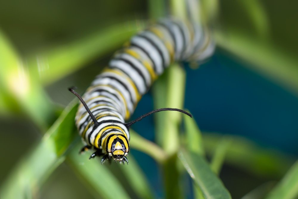 Monarca Larva -Danaus plexippus