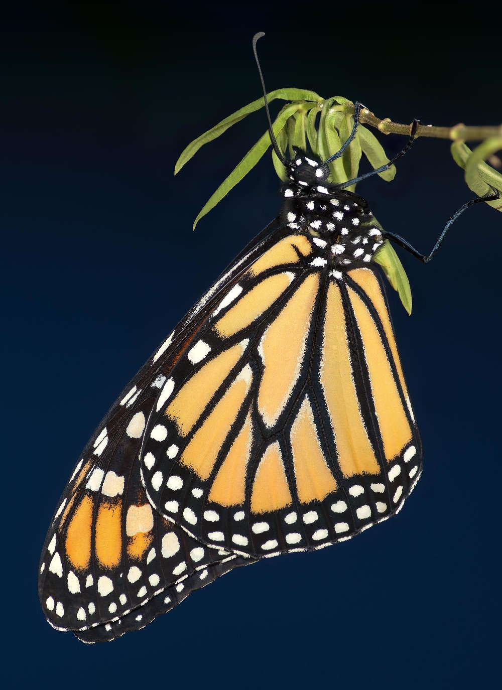 Adult Monarch