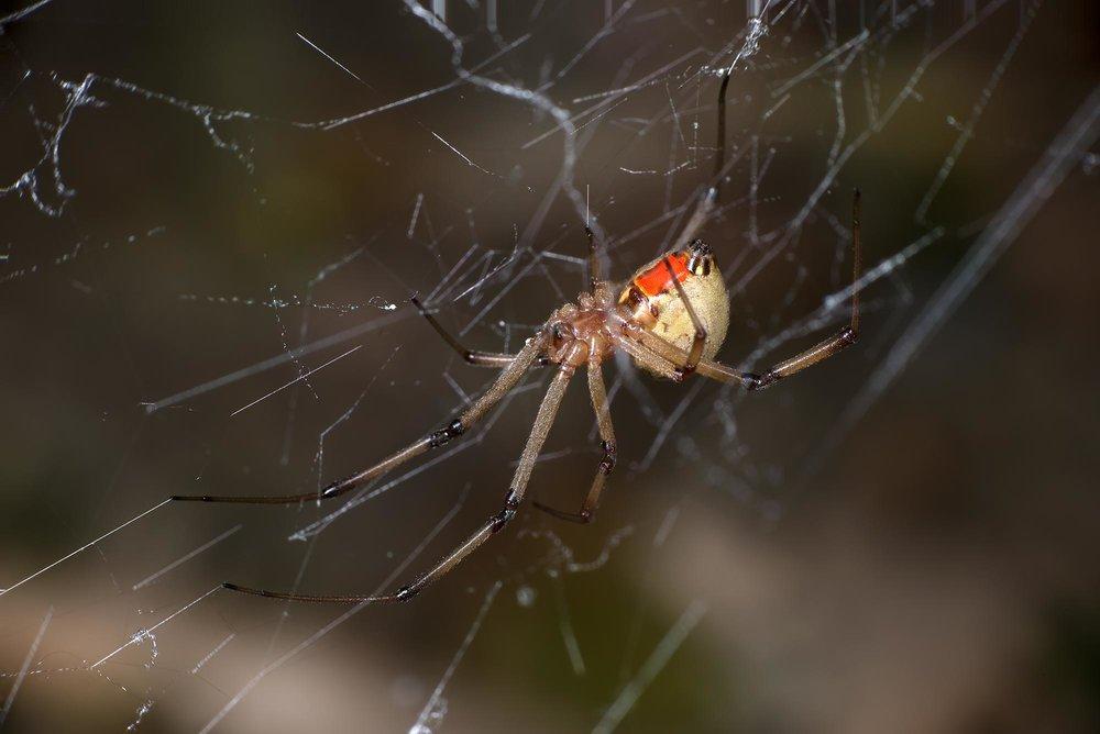Brown Widow - Latrodectus geometricus ♀