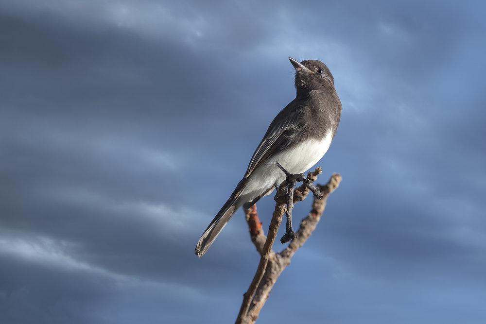 Black Phoebe -Sayornis nigricans