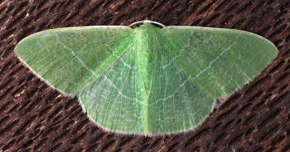 Geometrid Moth - Nemoria leptalea