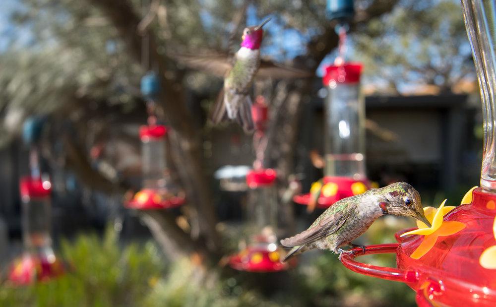 Anna's Hummingbirds - Calypte anna