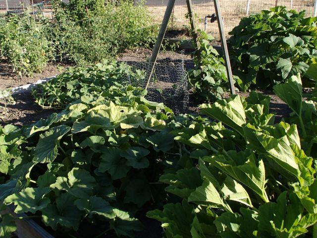 vegetable garden - after
