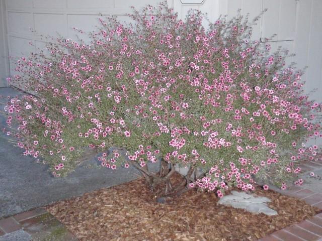 tea tree bush in bloom