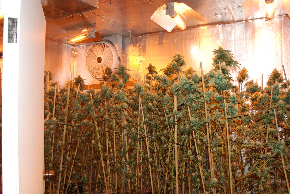 PHOTO:  Cape Coral Police Department took down a marijuana grow house operation in NW Cape Coral last night, seizing 151 lbs. of marijuana and arresting two for Cultivation and Trafficking.  Pictured here is an interior view of the home (with numerous pot plants) located at 51 NW 33rd terrace, Cape Coral.  (Photo Courtesy of Cape Coral Police Department)