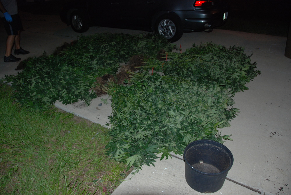 PHOTO:  Cape Coral Police Department took down a marijuana grow house operation in NW Cape Coral last night, seizing 151 lbs. of marijuana and arresting two for Cultivation and Trafficking.  Pictured here is an exterior view of the home (with numerous pot plants) located at 51 NW 33rd Terrace, Cape Coral.  (Photo Courtesy of Cape Coral Police Department)