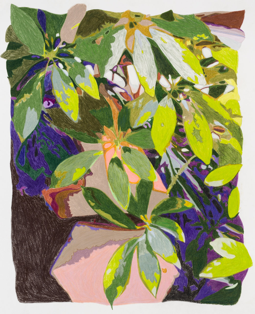 Umbrella plant, Taliesin West , colored pencil on paper, 15 x 10 inches, 2018.  Photography by    Paul Takeuchi