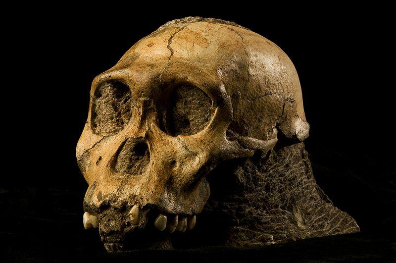 Australopithecus_sediba.jpg