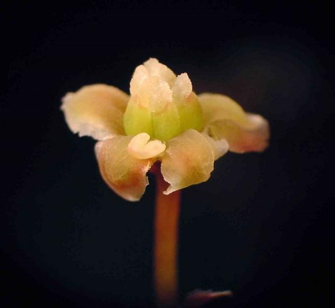 amborella-female-flower.jpg