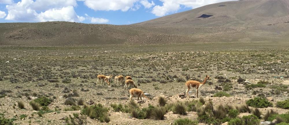 I det karrige landskapet på høyfjellsplatået i Andesfjellene, mer enn 3 500 moh, lever vikunjaen i små flokker.