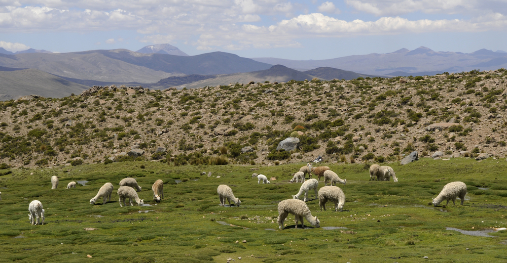 Alpakkaene trives også høyt til fjells, men er i motsetning til vikunjaene tamme, og en gjeter er ofte i nærheten av flokken.