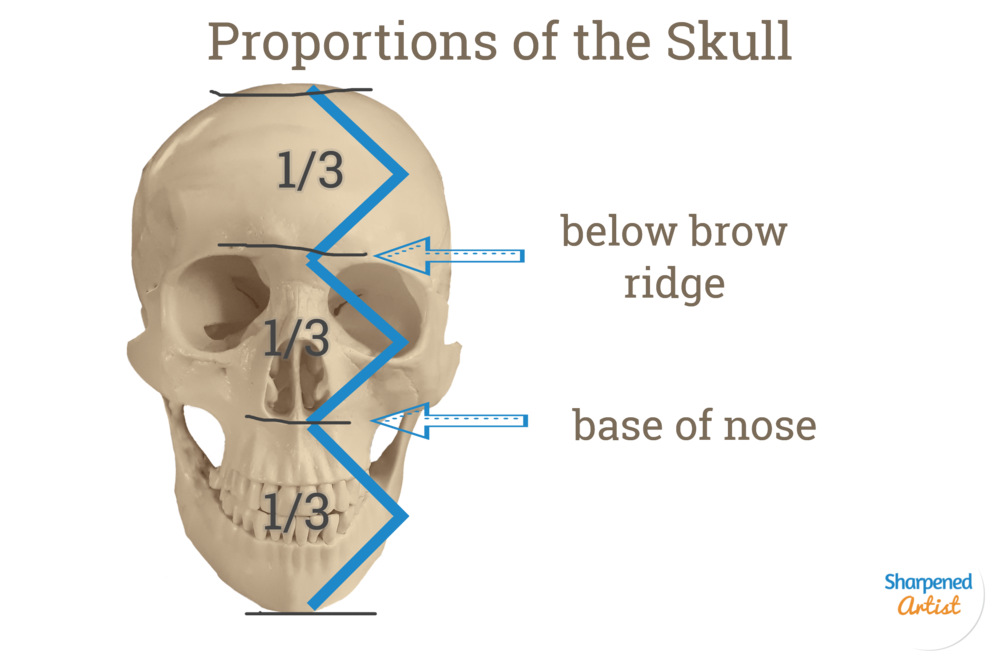 Skull Proportions.png