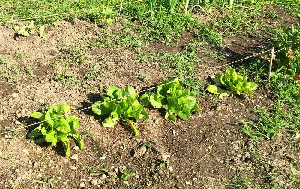 lettuce, the AFTER   (You can't see this but these plants are four times the size of those in the BEFORE picture.)