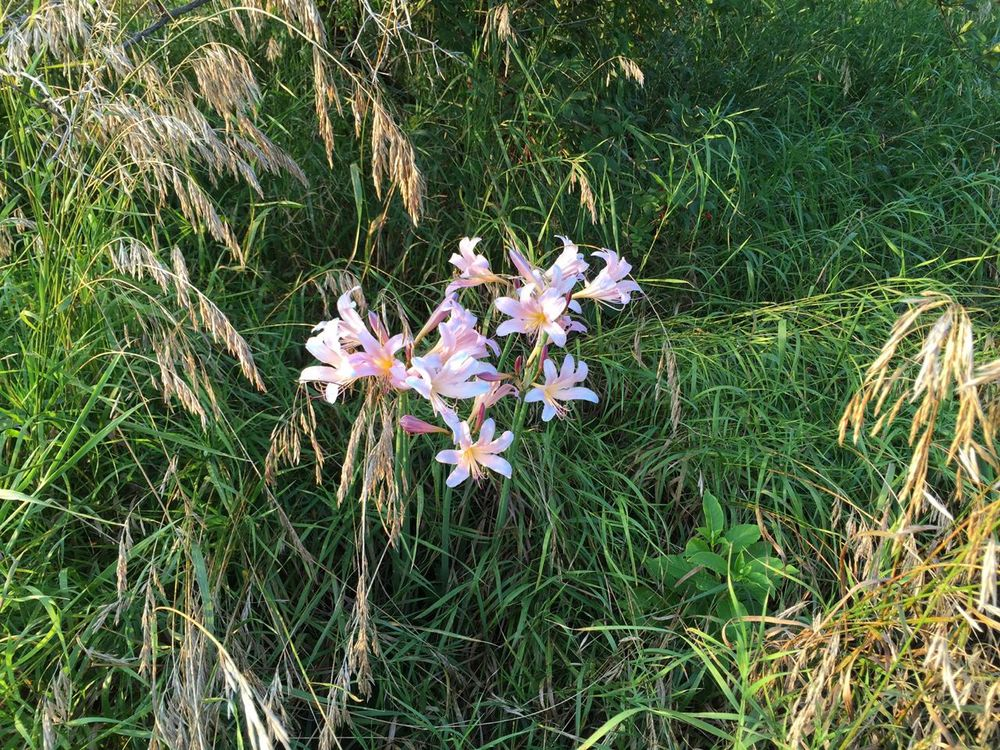"Decades ago, someone planted these lilies in a garden, but now they're in a field, almost unnoticed.  Isn't there some biblical quote about the lilies of the field - ""they toil not and neither do they spin""... ?"