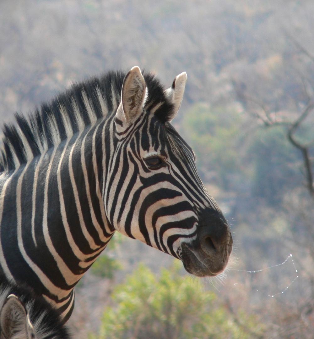 zebra01.jpg