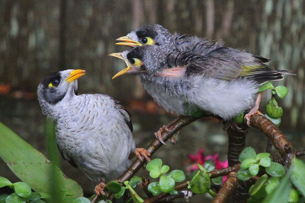 1280px-Noisy_Miner_chicks.jpg