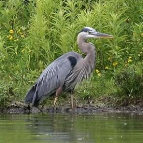 Great-Blue-Heron-300-2.jpg