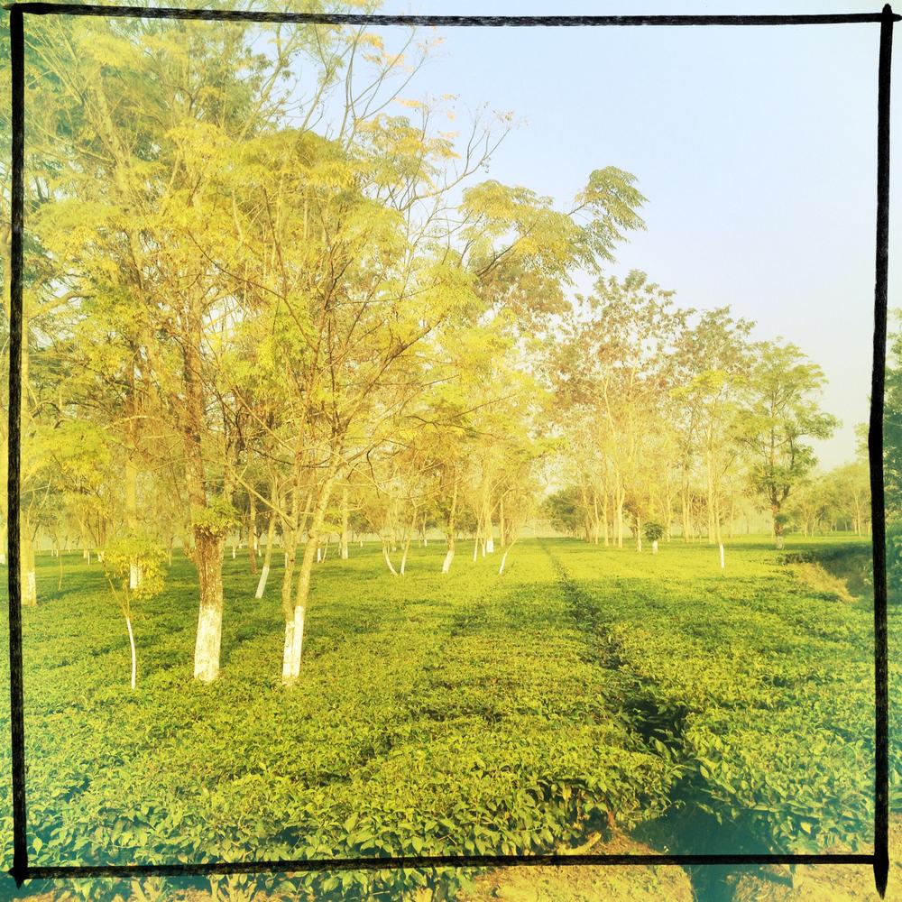 teagardens.jpg