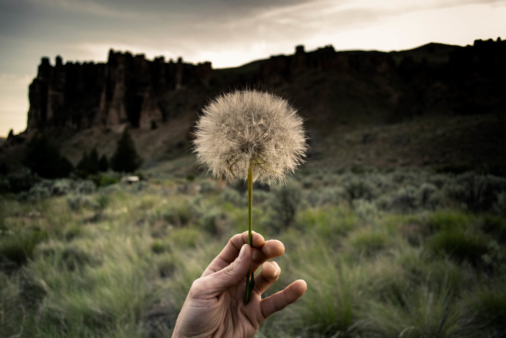 Taraxacum, Eastern Oregon