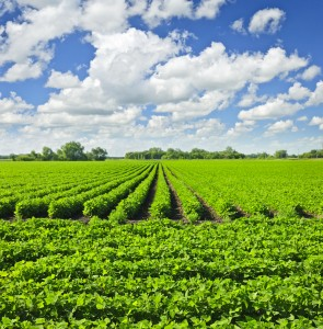 http://www.dreamstime.com/stock-image-rows-soy-plants-field-image19998131