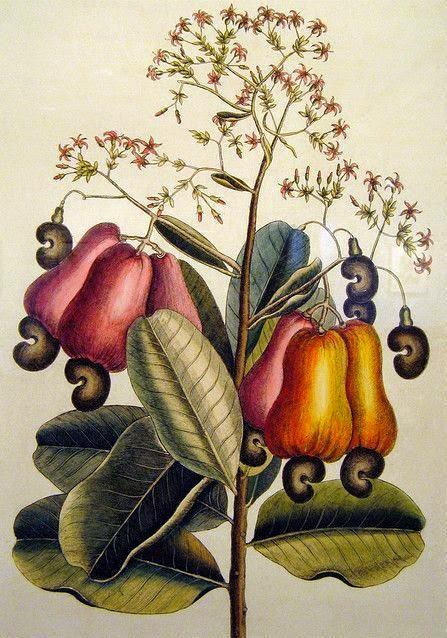 Caju. Mark Catesby, 18th century. copy.jpg