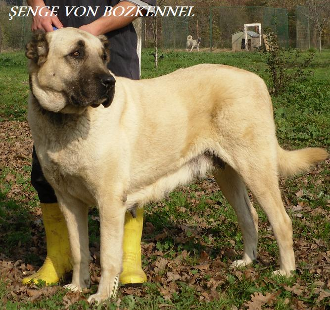 Female Turkish Boz Shepherds typically have a more rectangular profile than males, but overall balance is key.