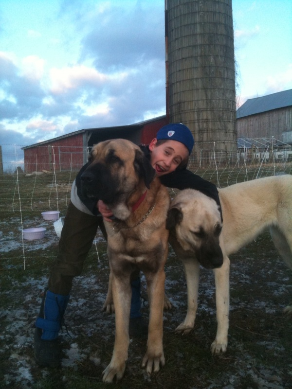 The close bond between the Turkish Boz Shepherd and his flock and family is crucial to his growth and happiness. (Dog on left is purebred Turkish Boz, dog on right is purebred Kangal)