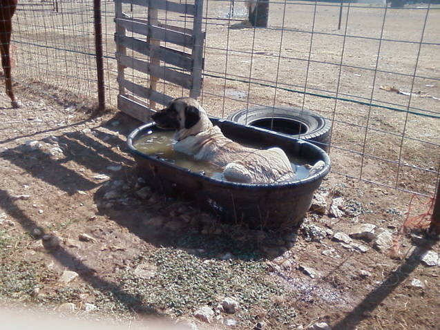 This Turkish Boz Shepherd enjoys her personal wading trough to keep cool in the extreme summer heat.