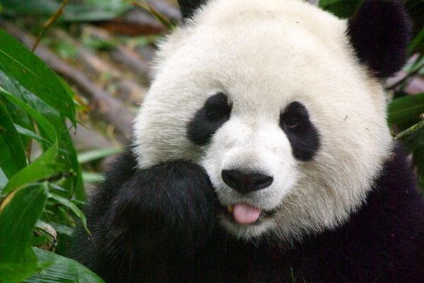 panda-sleepless.jpg