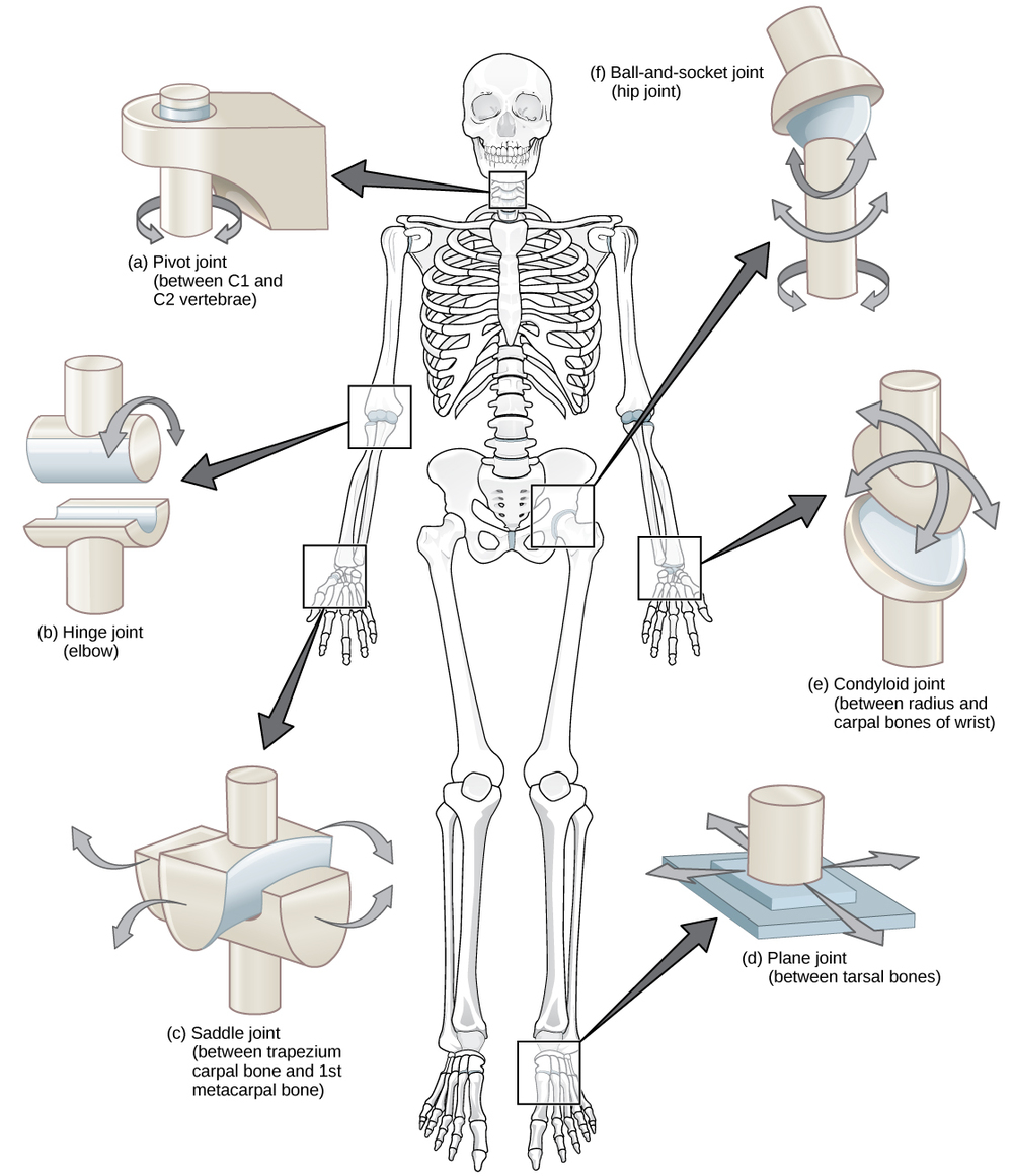 Degrees of Freedom of Joints in the body