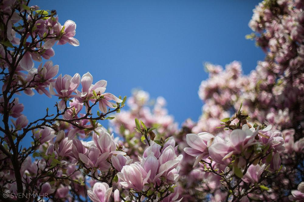 magnolia1.jpeg