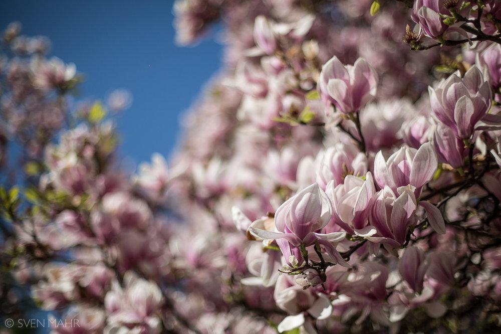 magnolia2.jpeg