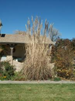 Pampas grass. It gets even bigger!