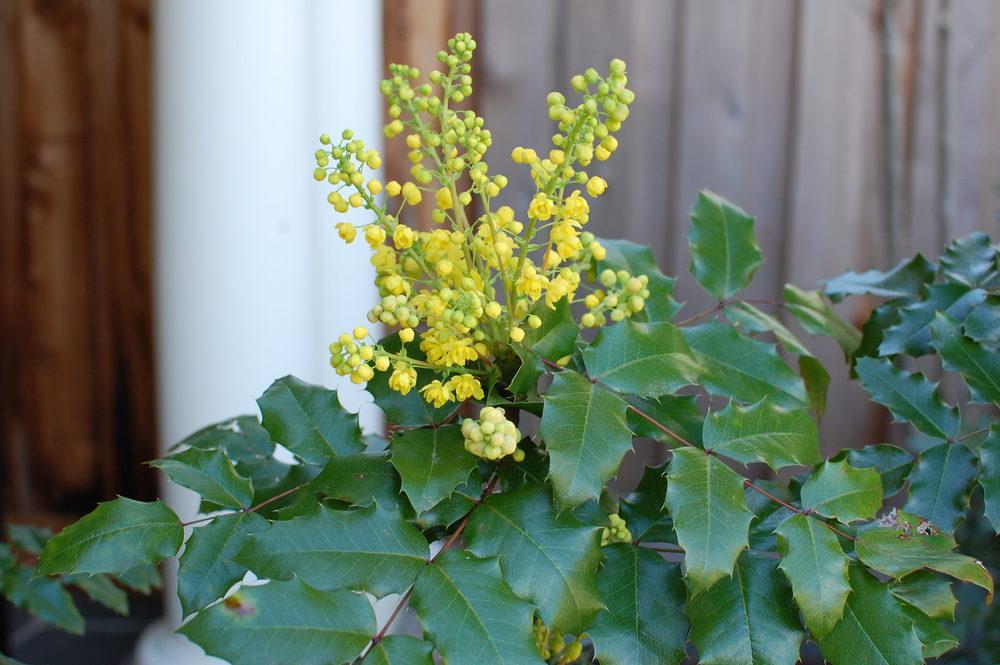 oregon-grape-flowers.JPG