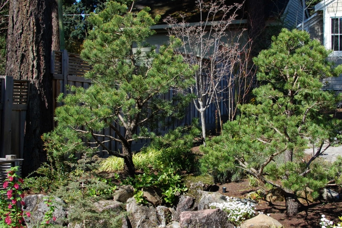 Drought Tolerant Pine Trees