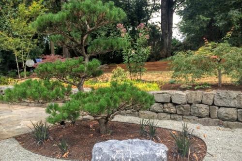 Japanese pine pruning